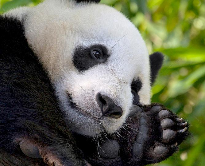 Panda_cam